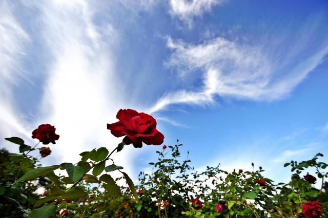 薔薇イメージ